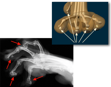 bone fragments left behind from a declaw surgery